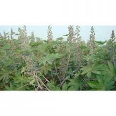 Castor Biogene-5 For Plantings