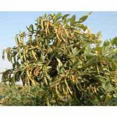 Pigeon Pea Seed Biotur-11 For Plantings