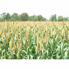 Pearl Millet Biogene-66 For Plantings