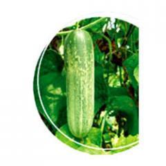 Cucumber Mohini