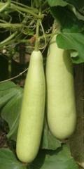 Bottle Gourds Varieties