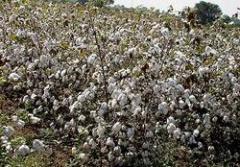Cotton Varieties Express