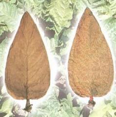 Tabacum Tobacco