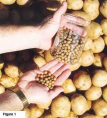 Potato Seeds