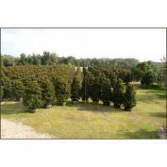 Trees & Ornamentals