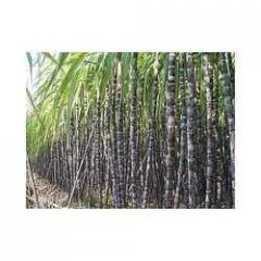 Sugarcane - Black Stem