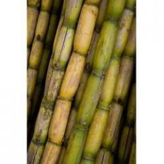 Sugarcane - White Stem