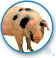 Swine Arostress Powder & Liquid: