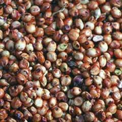 Seeds of field crops