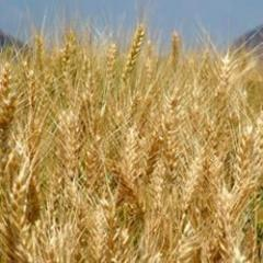 Wheat Seeds ( P-120 )