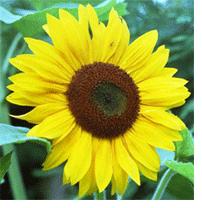 Sunflowerc