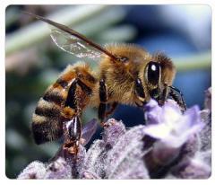 Waxes Honey