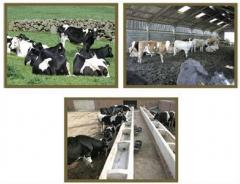Cattle Farming Projects