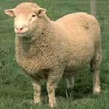 Uk Dorset wool