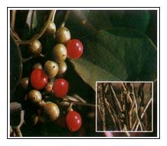 Giloi Plant