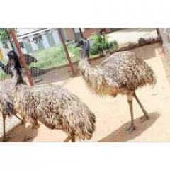 Farm EMU Birds