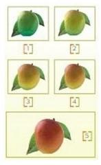 Mango Ripening System
