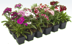 Thermoformed Seedling Trays