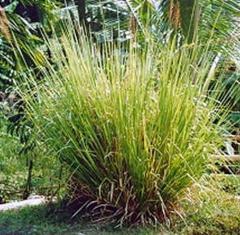 Vetiver Grass Oil