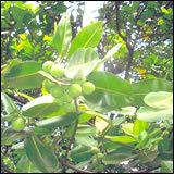Punnai Seed Oil