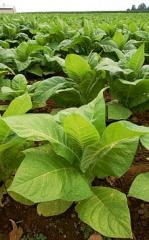 VFC Tobacco Leaves
