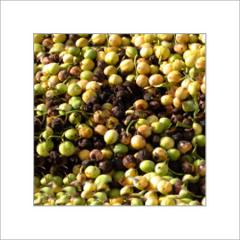 Jatropha Seedlings
