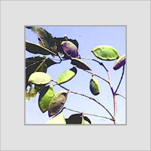 Pongamia Pinata Seeds