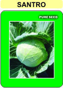Hybrid Cabbage Seed(santro)