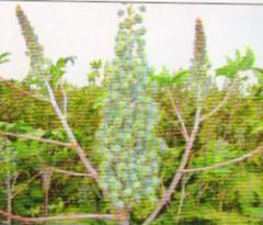 Hybrid Castor Seed(sarkar-101)
