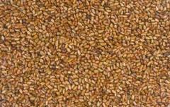 Cassia Torea Semen Seeds