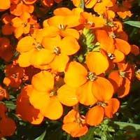 Wallflower Oil