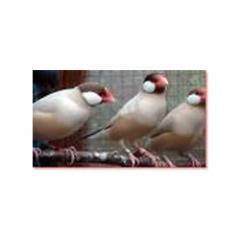 Javasparrow Birds