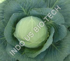 Cabbage Sowing Seeds