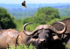 Buffalo Ox Horns