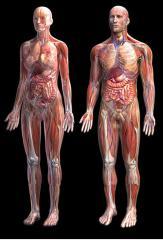 Models of a human anatomical