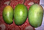 Mango (Kesar variety)