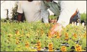 Sorghum Sudangrass Seed