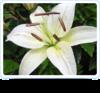 Lilli Flower