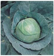 Santini Cabbage
