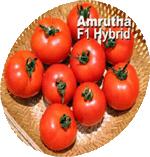 Vegetable Crops Tomato(Amrutha)