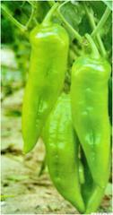 F1 Hybrid Pepper