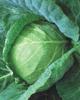 Hybrid Cabbage Heema