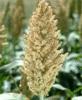 Hybrid Grain Sorghum Kamaraj