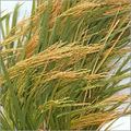 Hybrid Paddy