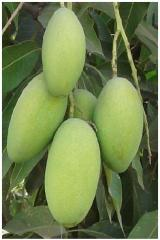 Dusehri Mango