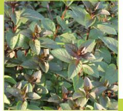 Essential Oil Peppermint