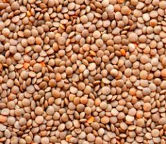 Red Whole Lentils Pulse