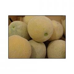 Research Muskmelon - Ajay