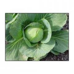 Hybrid Cabbage - Swati