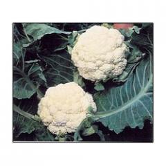 Research Couliflower- Suraj Delux